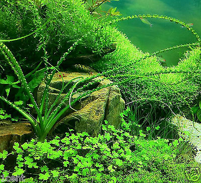 1000 seeds of aquarium grass aquatic plant water Ornamental flowers