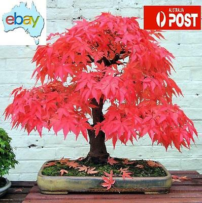 50+ Red Japanese Maple Bonsai / Tree Seeds