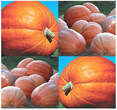 (10) DILL'S ATLANTIC GIANT Pumpkin seeds ~ Combined S&H