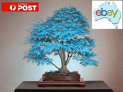 20Pcs Blue Japanese Maple Bonsai / Tree Seeds