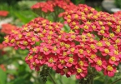 Achillea Red (Yarrow) x 200 seeds. Medicinal. Drought tolerant. Herb. Flower
