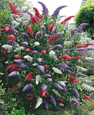 Grow your own TRICOLOUR BUTTERFLY BUSH! 6 PLANTS Buddleja garden flower Buddleia