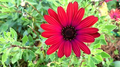 "Osteospermum (African Daisy) ""Flame"" x 1 plant. Hot red-brown color."