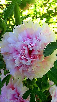 "Hollyhock (Alcea rosea) ""Charter's Double Appleblossom"" x 15 seeds SA grown"