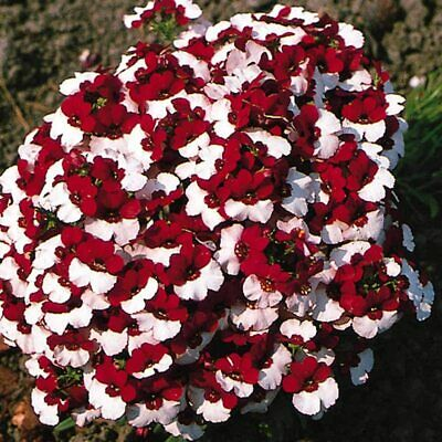 "Nemesia strumosa ""St. George"" x 50 seeds. Double colored flower. Gift in store."