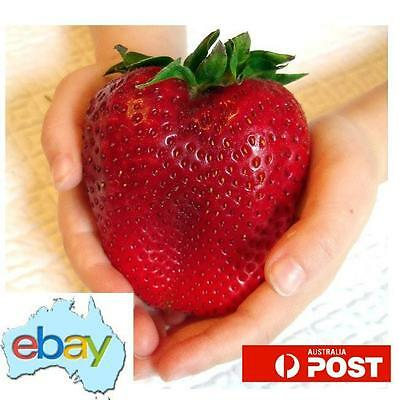 Giant Yummy Strawberry Seeds 300Pk