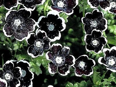"Nemophila ""Penny Black"" x 30 seeds. Gift with any 3+ seed's packets"