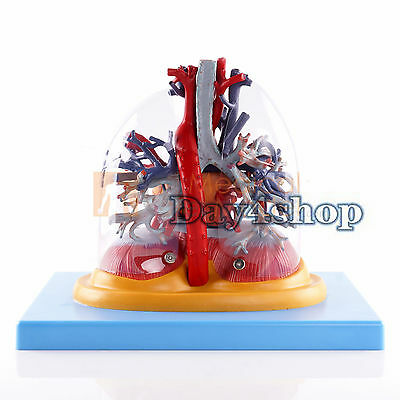 Medical Anatomical Model Transparent Lung,Trachea and Bronchial Tree + Heart