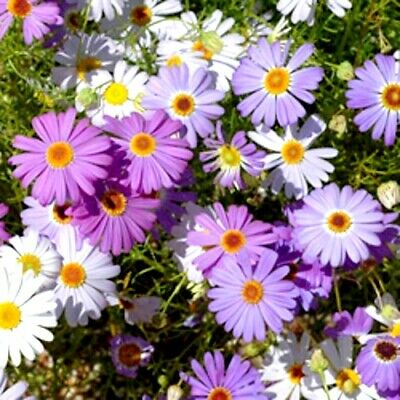 Brachyscome iberidifolia Mixed x 200+ seeds.Daisy. Gift in store. Combined post