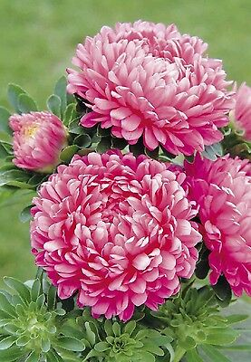 """Aster """"Milady PINK (Rose) x 50 seeds. Gift in store"""