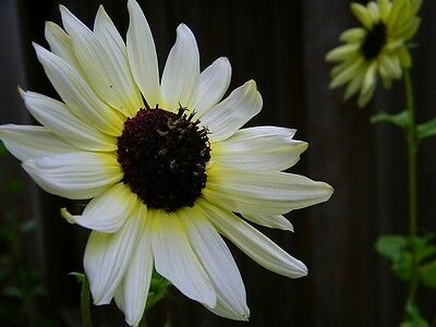 """Helianthus annuus """"Italian White"""" (Sunflower) x 25 seeds.Ask for combined post."""