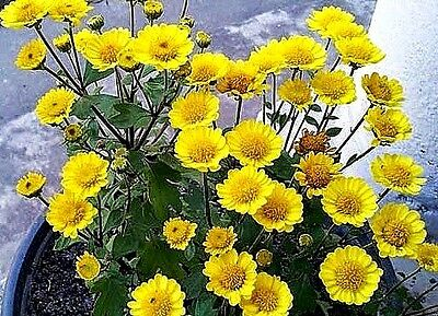 Chrysanthemum multicaule (Yellow Daisy) x 50 seeds  Gift in store