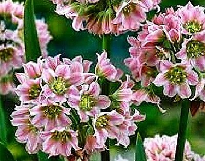 Allium tripedale (Honey garlic, Honey lily) x 10 seeds. Gift in store