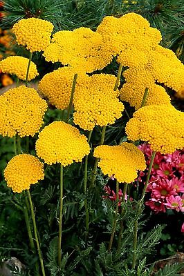 """Achillea """"Cloth of Gold"""" x 50 seeds, Perennial. Gift in store"""