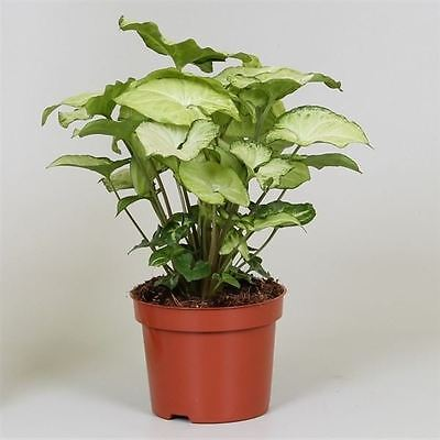 Syngonium 'White Butterfly' House Plant in a 13cm pot