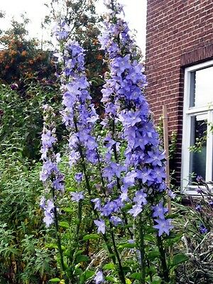 Blue Campanula pyramidalis (Chimney Bellflower) x 100+ seeds. Gift in store