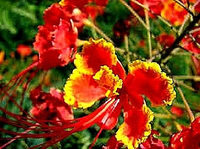 Mexican Bird of Paradise Red (Caesalpinia Pulcherrima) x 5 seeds Flowering shrub