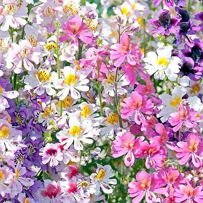 """Schizanthus """"Angel Wings Mix"""" x 300 seeds. Flowers. Gift in store."""