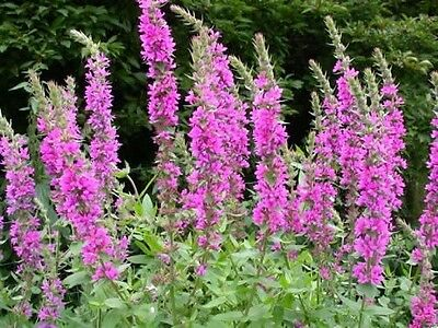 Purple Loosestrife (Lythrum salicaria) x 50+ seeds. Native plant. Gift in  store