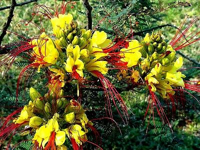 Caesalpinia gilliesii (DESERT BIRD OF PARADISE) x 5 seeds Drought ok