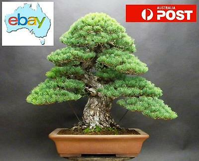 20 X Japanese White Pine Bonsai / Tree Seeds