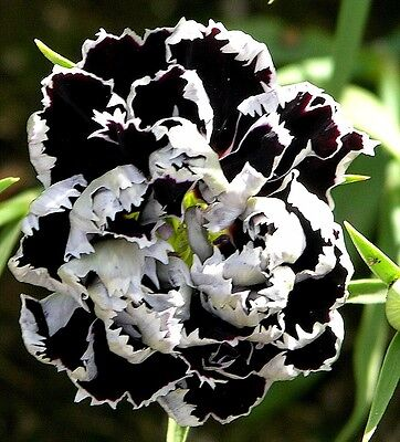 "Dianthus chinensis (Carnation) ""Chianti Double Burgundy White edged"" x 30 seeds"
