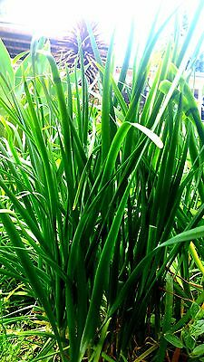 Garlic Chives x 50 seeds Herb, perennial
