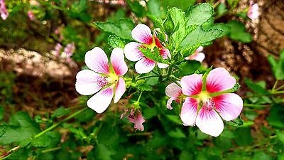 Cape Mallow (Anisodontea capensis) x 15 seeds. Evegreen, attract bees.