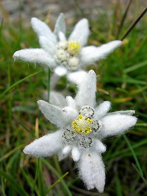 Leontopodium alpinum (Edelweiss) x 40 seeds. Great for pots or alpine garden