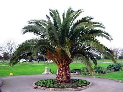 50 Seeds - Canary Island Date Palm - Phoenix canariensis