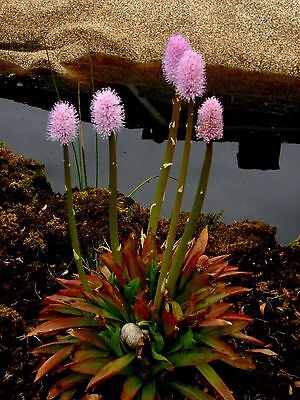 Helonias bullata (Swamp Pinks) x 30 seeds. Pond and swamp plant. Evergreen.