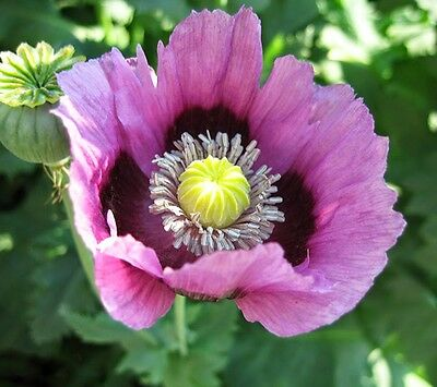 500 Seeds - Afghan Blue Poppy - Papaver somniferum