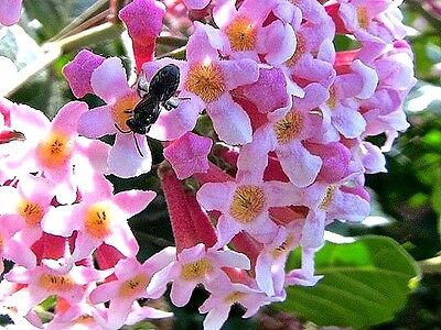 Rondeletia amoena x 1 plant. Tough Perfumed Shrub. Ask for combined postage