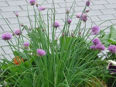 Chives Garden Herb in a 11cm pot.