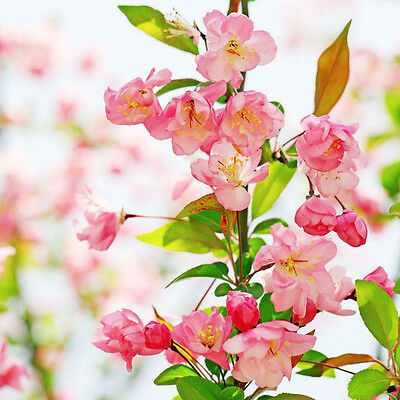 100pcs Anne Flowering Crabapple Tree Seeds HOT
