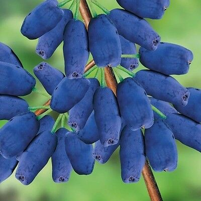 Honeyberry, Honeysuckle (Lonicera caerulea) x 10 seeds.
