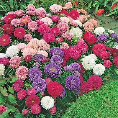 ASTER Giant Perfection 60 seeds cut flower garden annual open polinated