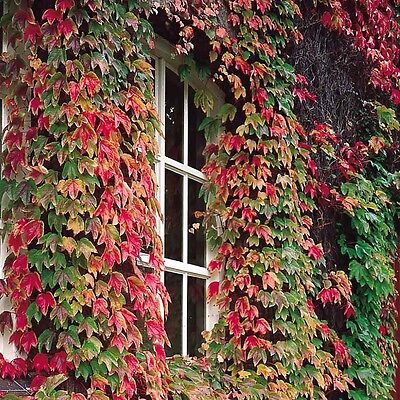 Boston Ivy Self Clinging Vine Creeper 50 Seeds Free Post
