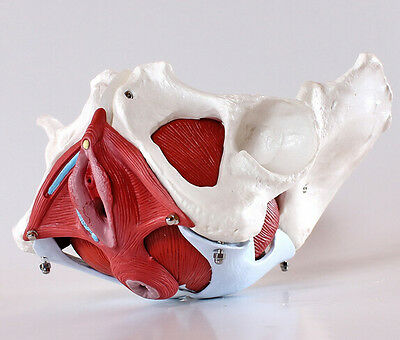Life Size Female Pelvis Medical/Teaching Model with Removable Organs 6-part New