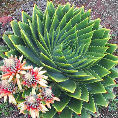 100pcs Mix Succulents seed, Aloe polyphylla rotation aloe vera queen seeds New