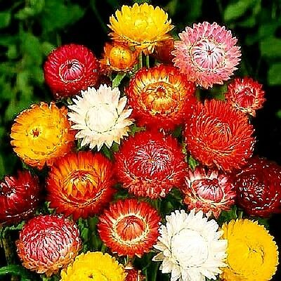 """Helichrysum """"Tom Thumb Mix"""" x 100 seeds Flowers for drying and bouquets"""