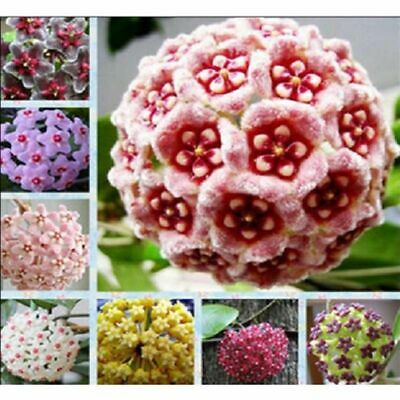 300pcs Mix Hoya Carnosa Seeds Potted Ball Orchid Flower Home Garden Plant Seeds