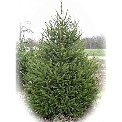 Grow Your Own  Christmas Trees From Our Many Different Varieties Of Seeds