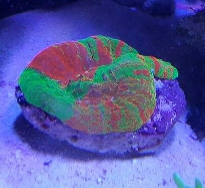 Europeanaquatics Grade A Bleeding Aplle Scoly WYSIWYG