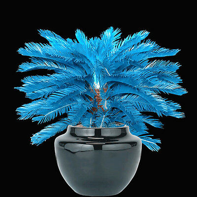 RARE! 100pcs Blue Cycas Seeds , Sago Palm Tree Beeds Bonsai Blower Seeds NEW