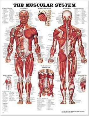 The Muscular System Anatomical Chart by Acc (English) Hardcover Book Free Shippi