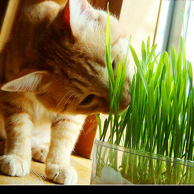 New harvested cat grass 1oz/approx800 seeds organic including growing guide
