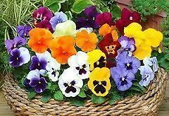 Pansy Mixed bedding plants. 12 Garden Ready Plants.