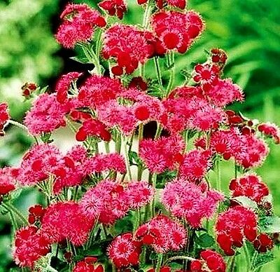 """Ageratum houstonianum """"Red Flint"""" x 100 seeds. Flower. Gift in store."""