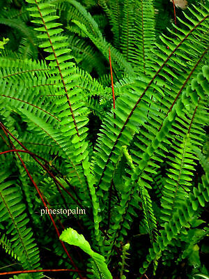 TUBEROUS SWORD FERN - 8 ORGANIC ROOTED medium (Nephrolepis cordifolia)